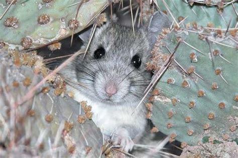 Desert Wild   Packrat Facts   When Your Neighbor Is A Rat