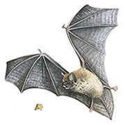 illustration of a Pipistrelle bat