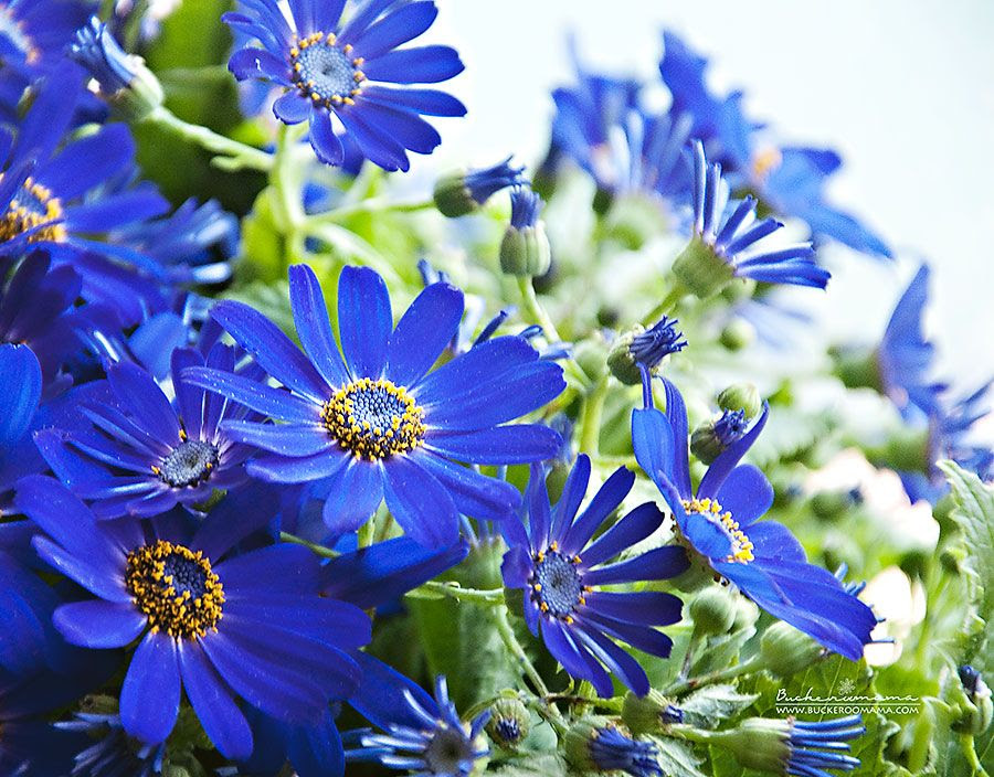 photo Blue-flowers-1_zps2d8013bc.jpg