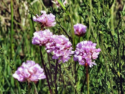 20100529-rq-07-Armeria maderensis