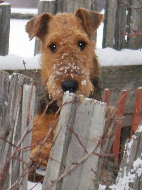 Monterra Airedales  Airedale Puppies for Sale