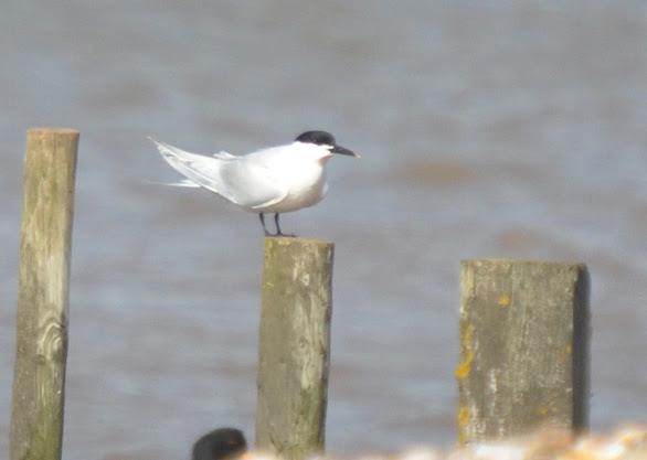 http://www.dawlishwarren.co.uk/_Images/Sandwich%20tern%20020413.jpg