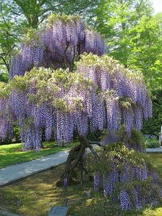 Reminds me of my grandmother's wisteria