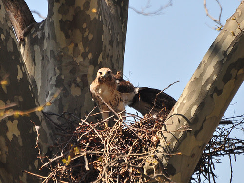 Mom and Pop Red-Tails in Nest