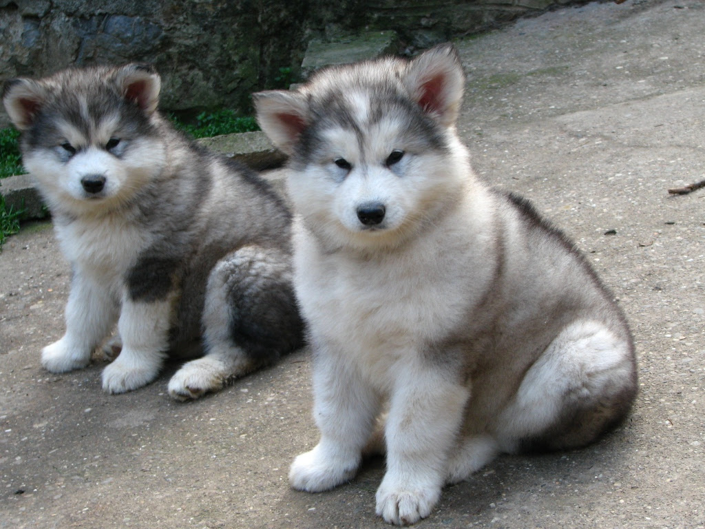 Great Dog Breeds  Alaskan Malamute