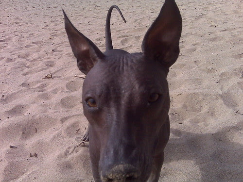 Diego the Xoloitzcuintli