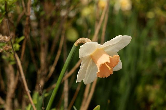 daffodils, o'bryant square