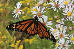 monarch on asters 2