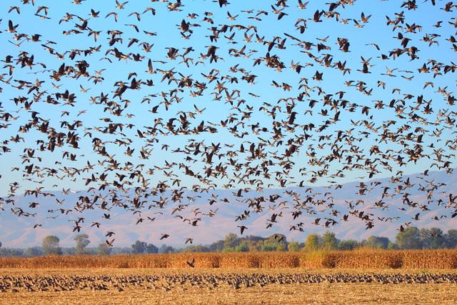 IMG_1130 Aleutian Cackling Geese