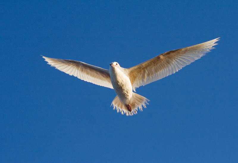Albinistic Western Gull