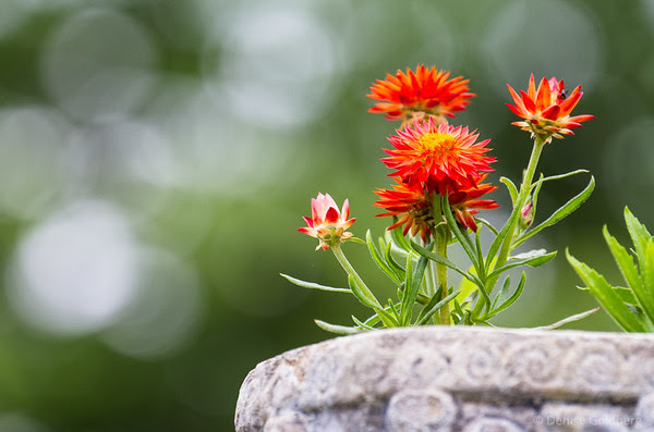 bright strawflowers