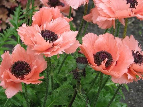 Pavot d'orient / Oriental poppy