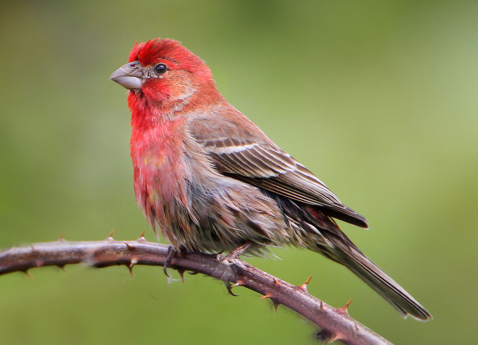 male red house finch
