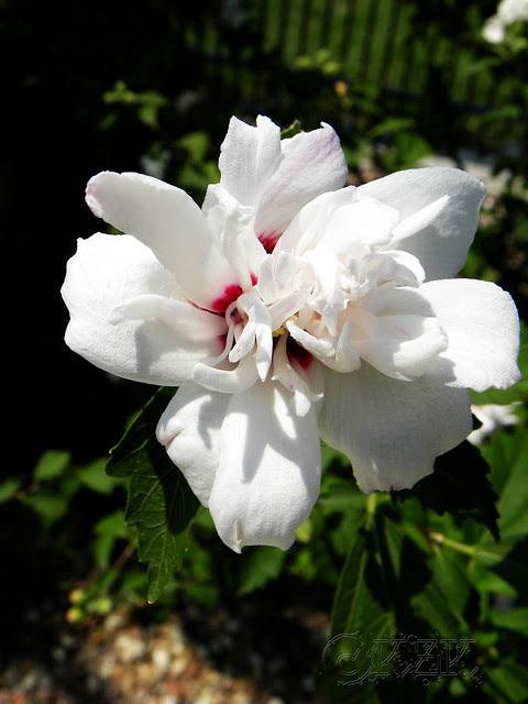 DSCN4006 Rose of Sharon