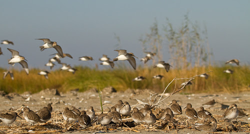Western Sandpipers, Grand Terre, Louisiana