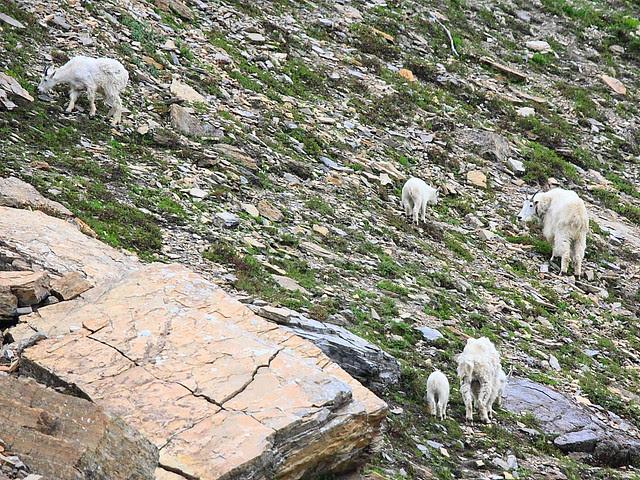 IMG_4317 Mountain Goat, Glacier National Park