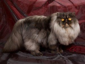 Download 63+  Gambar Kucing Anggora Warna Hitam Putih Terbaik HD