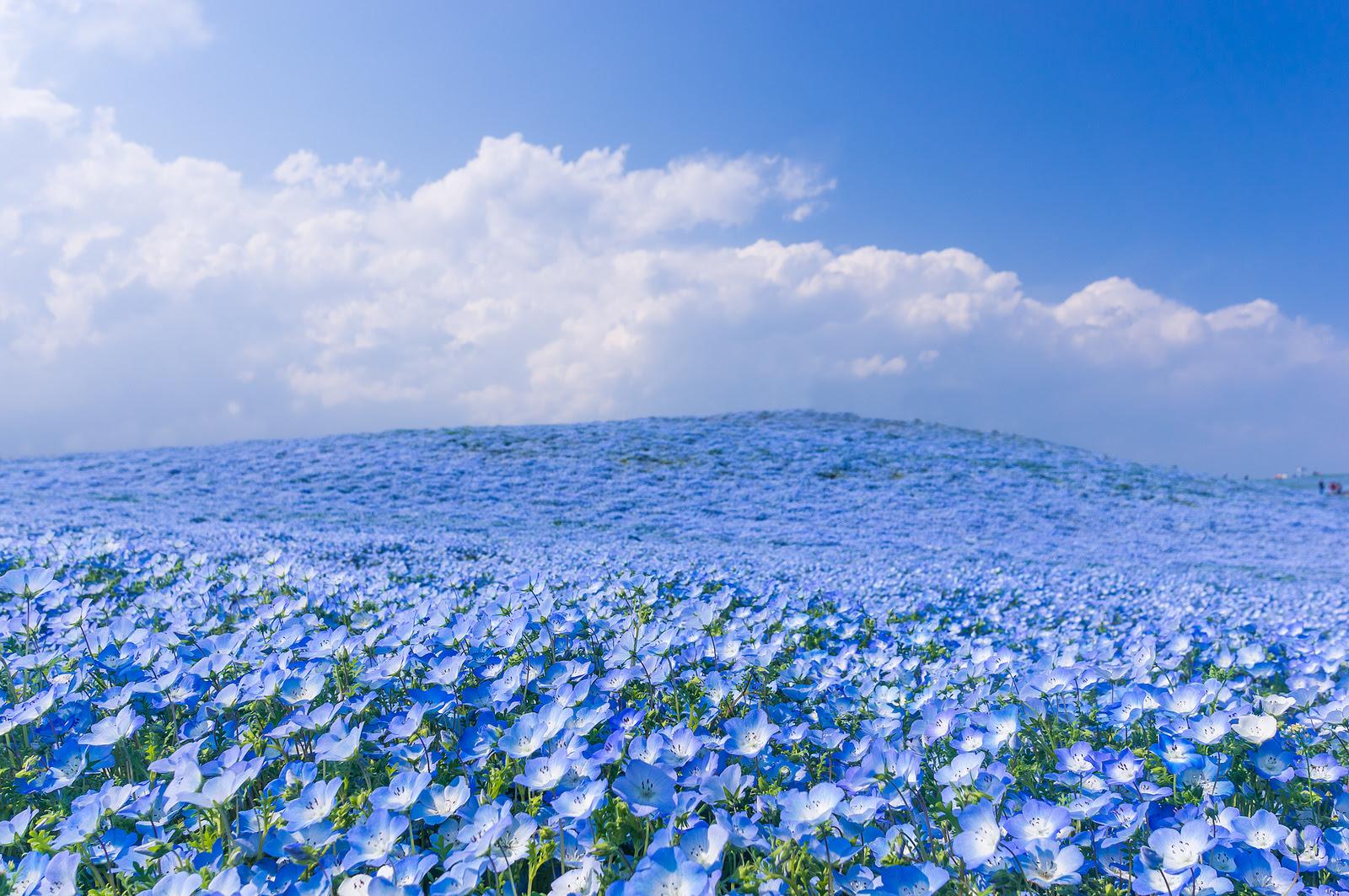 A Sea of 4.5 Million Baby Blue Eye Flowers in Japans Hitachi Seaside Park Japan flowers