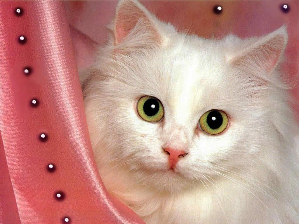 Cute White Cat Wallpaper 1024x768 12623