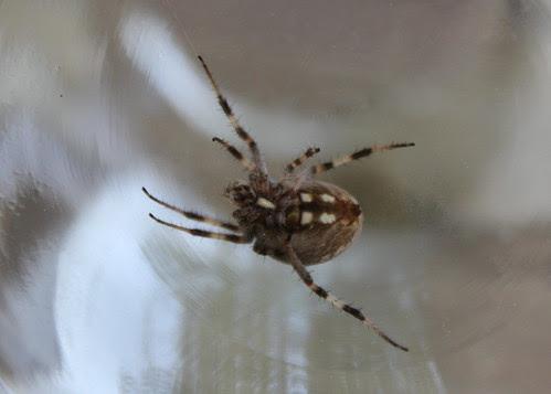 Garden spider in the house