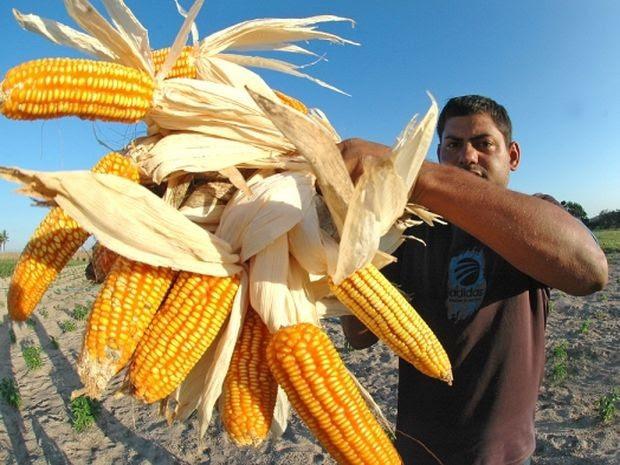 Cultura do milho conta com incentivos para se consolidar como segmento de mercado (Foto: Jorge Henrique/Divulgação)