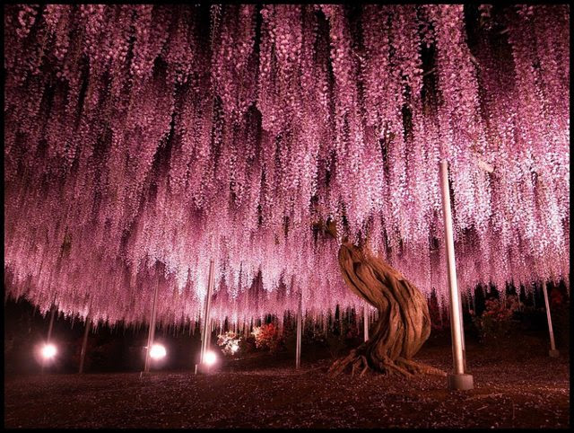 At 144 years, this Wisteria Tree is the oldest in Japan