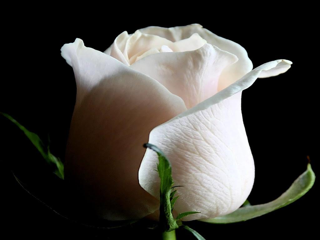 La Rosa Blanca Del Papa Francisco Infovaticana