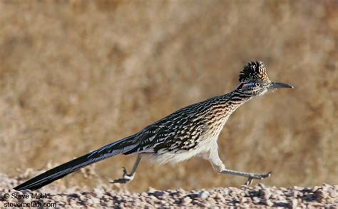 5 Interesting Facts About Greater Roadrunners   Hayden's Animal Facts