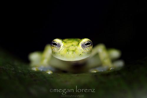 Glass Frog by Megan Lorenz