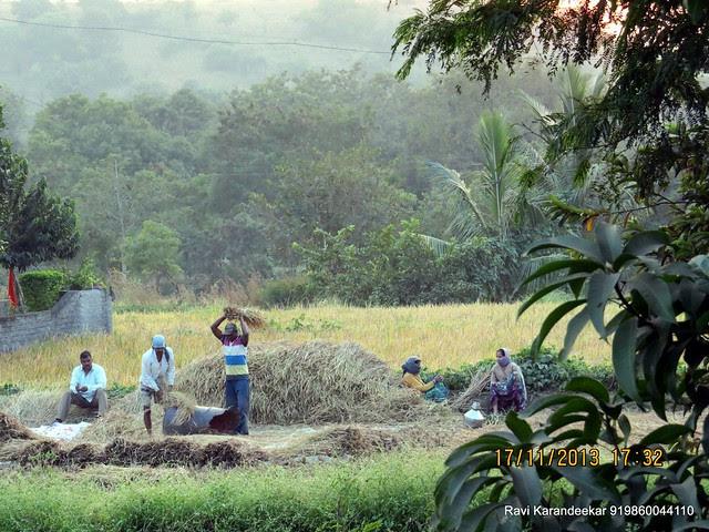 Manual harvesting of rice at Kirkatwadi, Pune 411024
