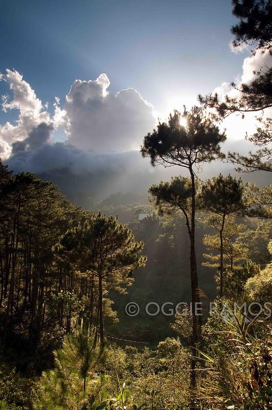 Sagada Tree-D