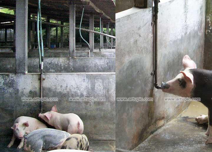 20+ Cara Membuat Kandang Babi Sederhana Pictures ...