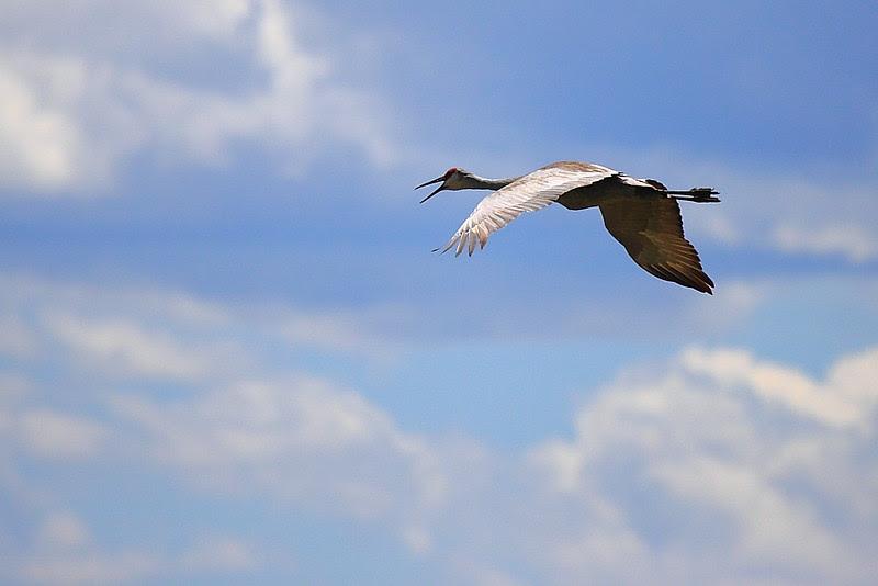 IMG_6639 Sandhill Crane, Ash Creek Wildlife Area