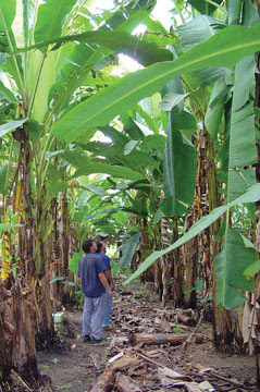 A banana plantation at the Embrapa research station in Manaus, Brazil
