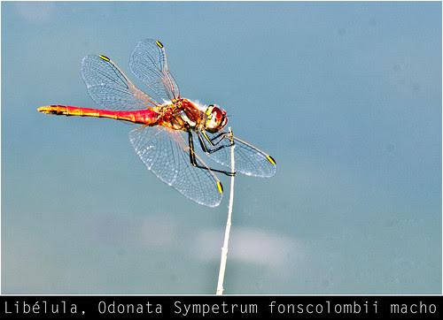 Libélula, Odonata Sympetrum fonscolombii macho