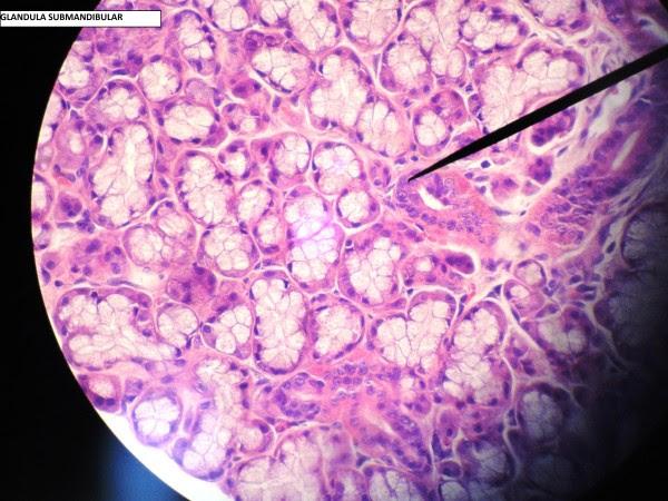 O método mais comum para estudar os tecidos é realizado por meio da preparação de lâminas histológicas. Resumidamente, tal preparação envolve processos físicos e químicos de corte, fixação, desidratação, diafazinação e coloração, os quais envolvem diversos instrumentos e compostos químicos. Você vai aprender tudo isso nas aulas de histologia.