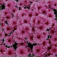 Chrysanthemum 'Padre Lilac' - Chryzantema