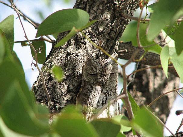 Κουκουβάγιες: Οι σπεσιαλίστες του καμουφλάζ (17)