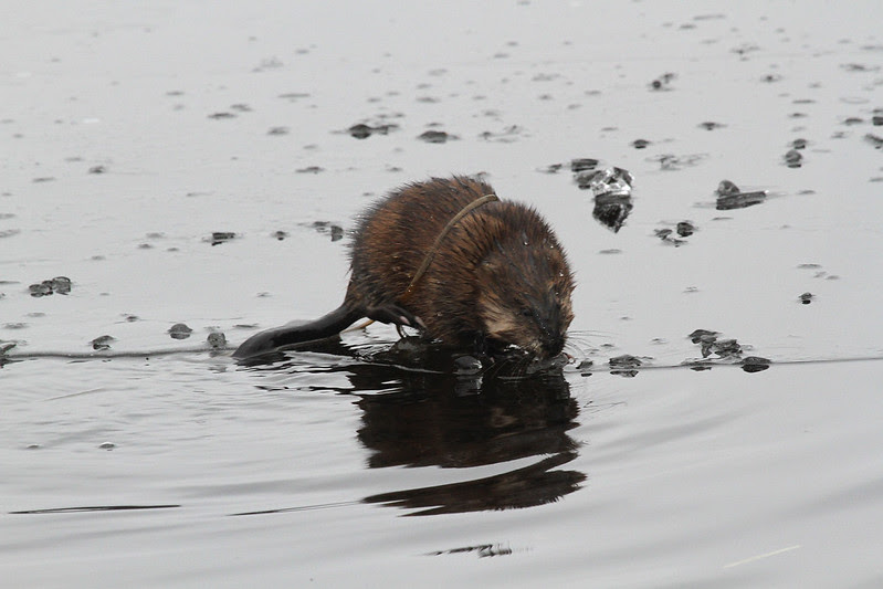 muskrat and vegetation