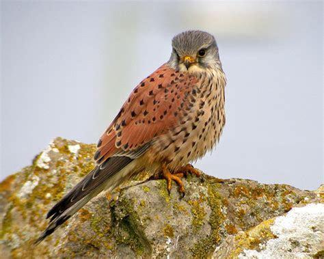 Eurasian Kestrel   Falco tinnunculus   Species Information and Photos