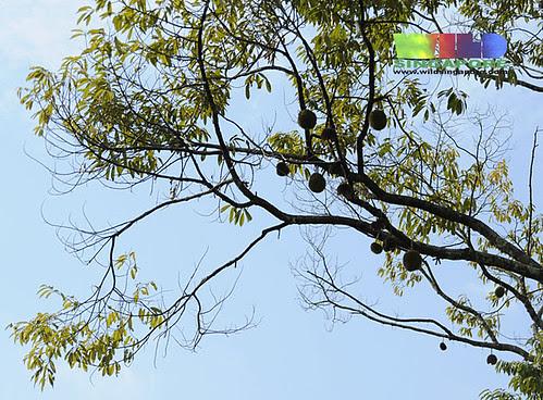 Durian tree (Durio sp.)