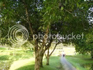 Pokok Bunga Tanjung