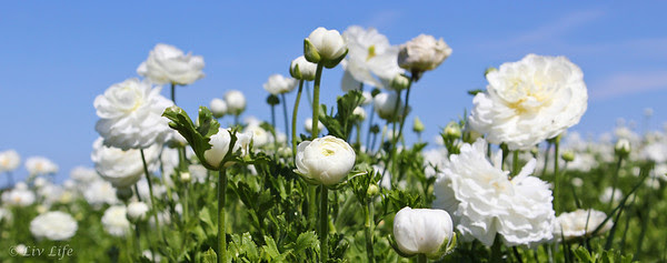 White Ranunculus, Carlsbad Flower Fields
