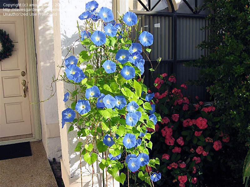 http://pics.davesgarden.com/pics/2009/04/05/amorecuore/75a941.jpg