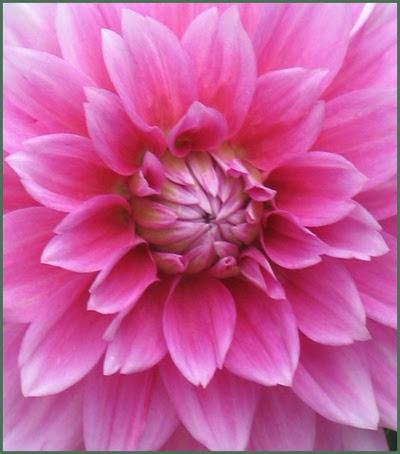 06 dahlia pink