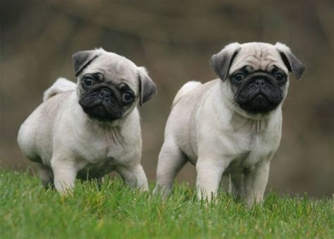 photo gallery  cute pug dog weneedfun