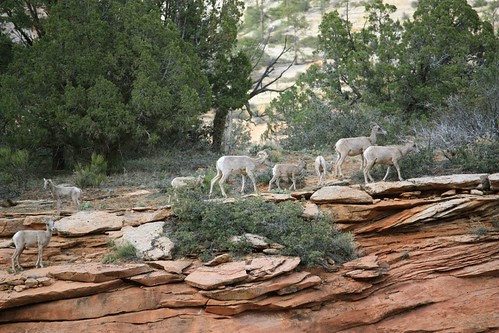 Desert Bighorn group