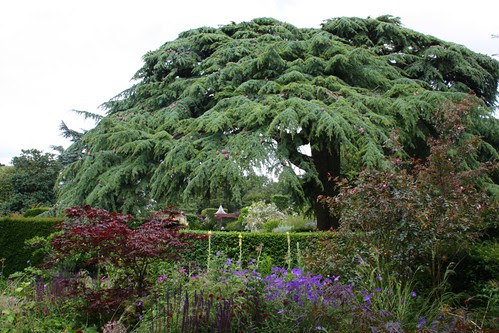 Cedar of Lebanon at Hidcote