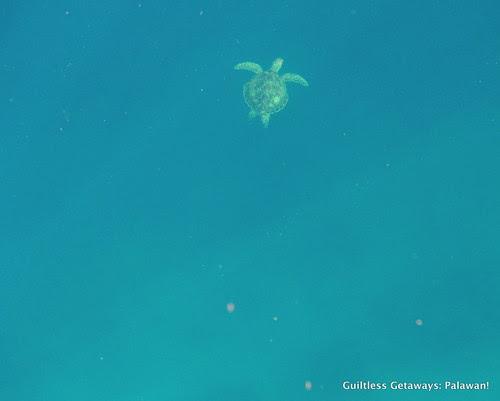 turtle-swimming-photo-el-nido-palawan