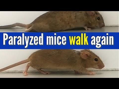 Нова терапия възстанови двигателните функции на парализирани мишки (ВИДЕО)